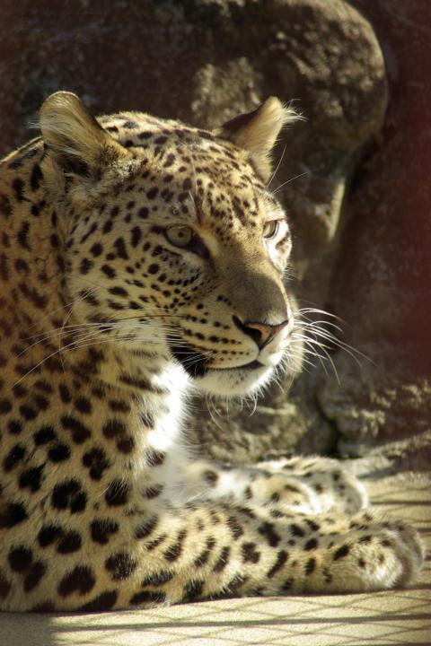 東山動物園_凛々しい顔つきのペルシャヒョウ