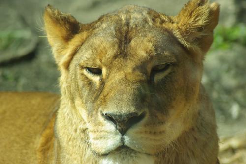 東山動物園_カメラ目線?のメスライオン