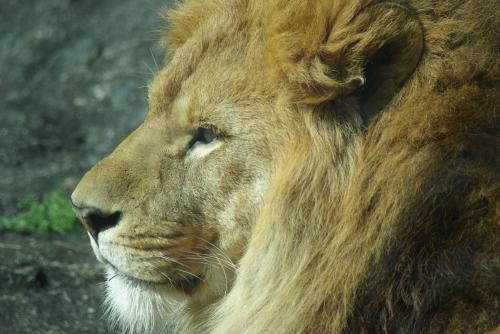 東山動物園_たてがみが凛々しいオスライオン