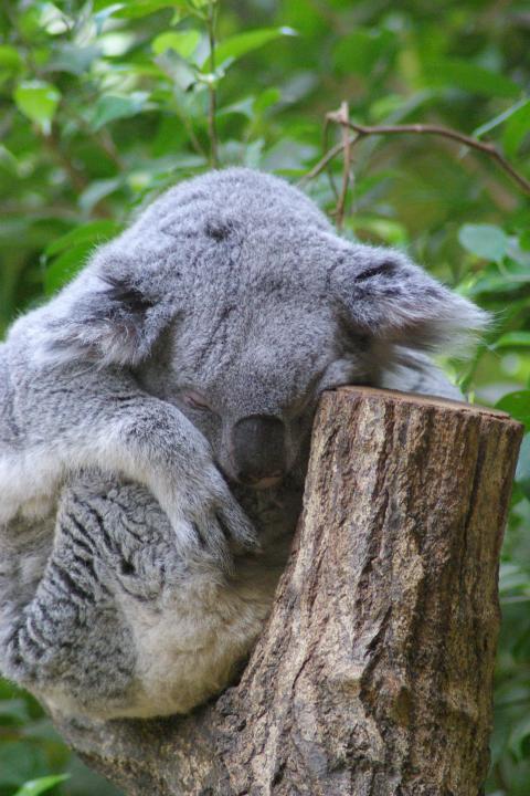 東山動物園_木の上でお昼寝中のコアラ