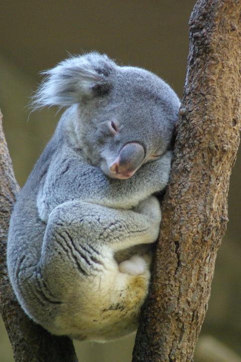 東山動物園_気持ち良さそうに熟睡しているコアラ