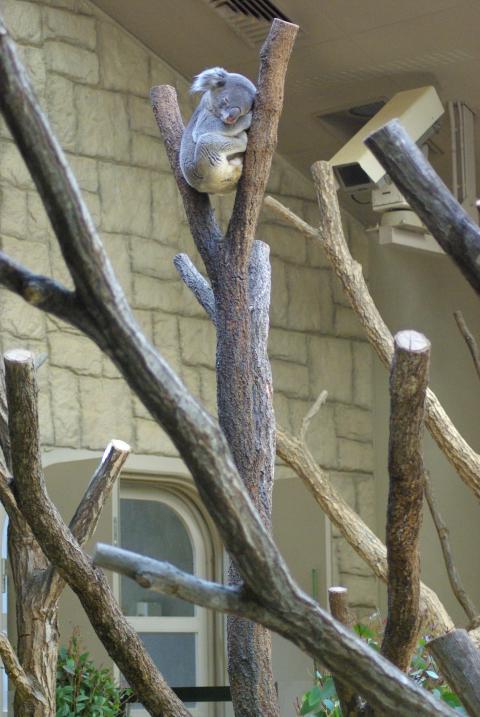 東山動物園_木の上の高い場所で熟睡するコアラ