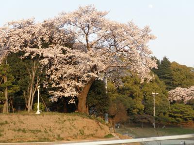 SDMから見える大きな桜の木