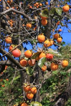 柿が美味しそう?これ、渋柿じゃないか?