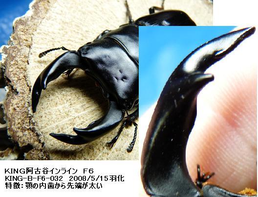 KING阿古谷種親F6-032