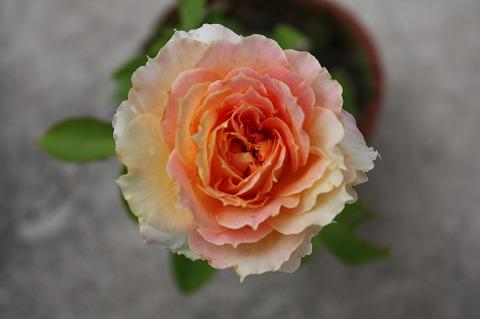 さしきバラ1