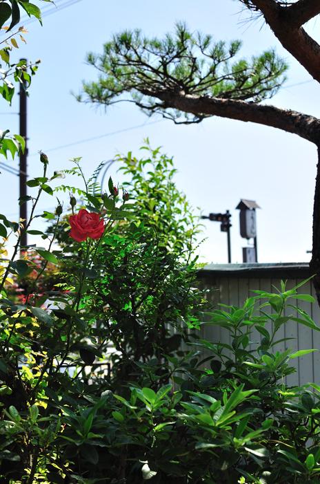 庭の薔薇?