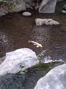 鯉と小さな滝