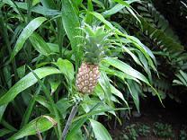 パイナップル(小)