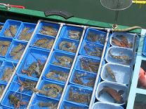 西貢魚(小)