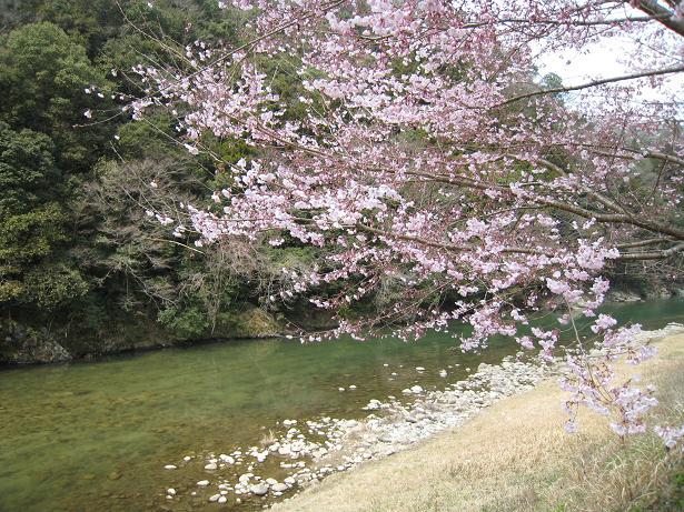 桜の広見ヤナ