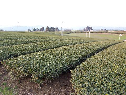 無農薬有機栽培のお茶園