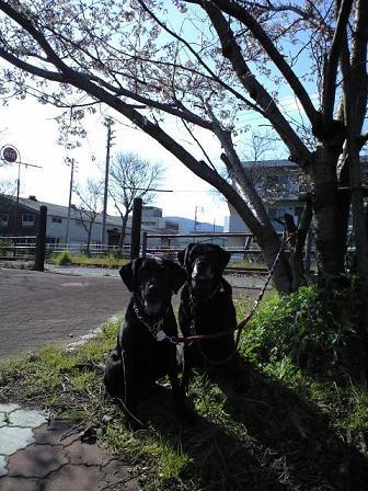 090330散歩中の桜 6