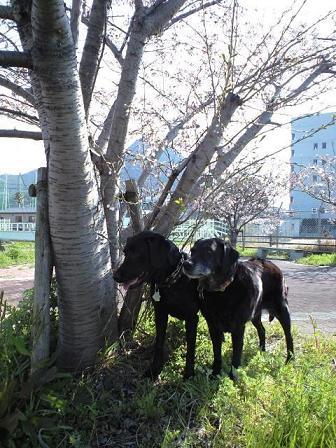090330散歩中の桜 5
