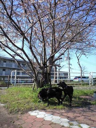 090330散歩中の桜 3