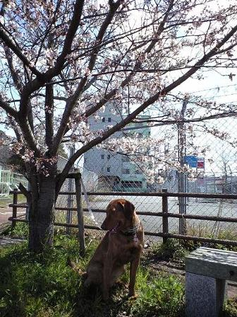 090330散歩中の桜 8