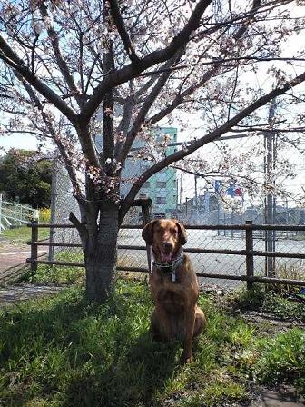 090330散歩中の桜 7