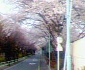 桜トンネル~