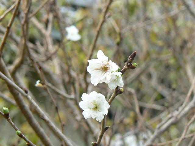 御会式桜①