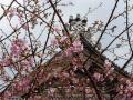 誕生寺のあたみ桜(1)