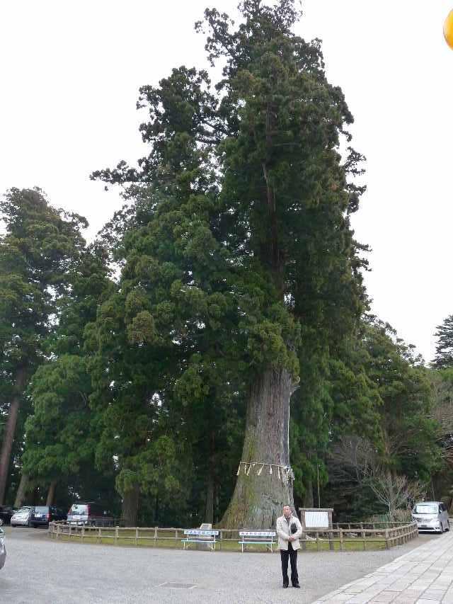 樹齢八百年の杉(1)