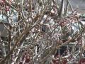清澄寺の梅(1)