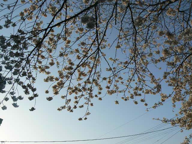 朝日を受ける桜