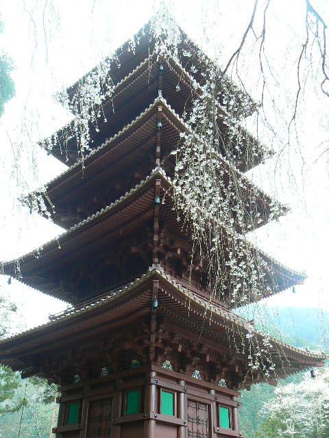 新たなる五重塔の枝垂れ桜