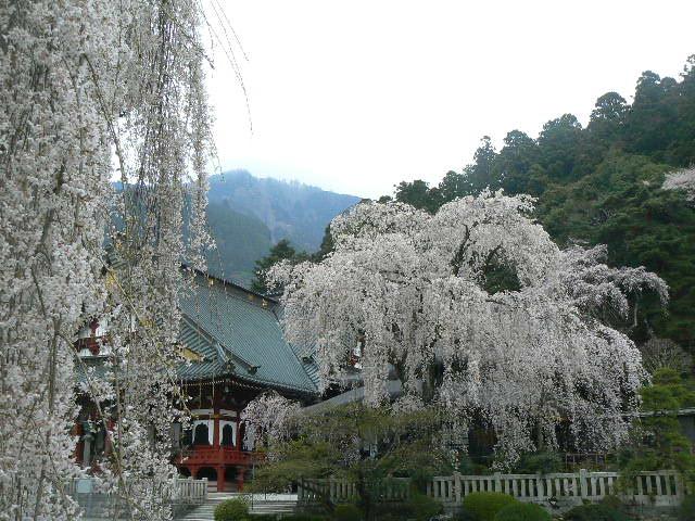 祖師堂を映す枝垂れ桜