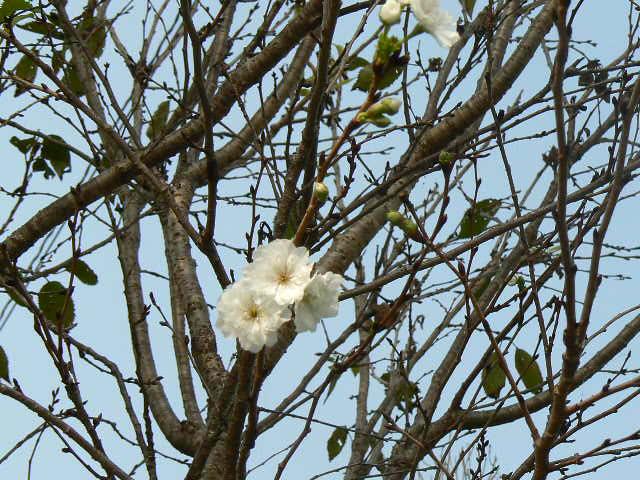 御会式桜が迎える
