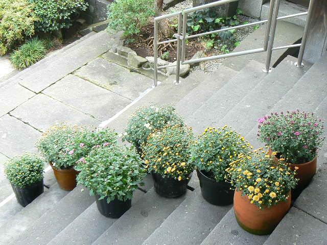 11月6日の本堂前のツボミの小菊