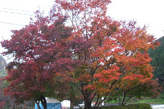 耶馬溪紅葉-1