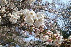 桜 きれぇー♪