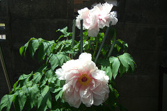 ぼたんの花(白)