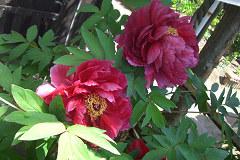 ぼたんの花(ピンク)