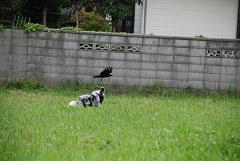 鳥追い連写①