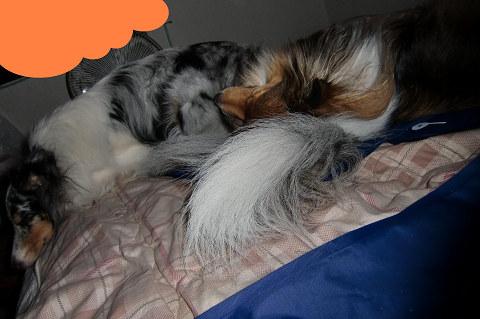 尻尾の枕①
