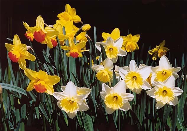 Narcissus-H14garden-1a.jpg