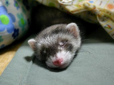 『ボクは眠れるイタチの王子・・・Zzzzzzz....』