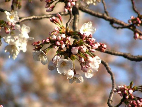 桜のシャワー