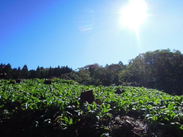 田沢かぶの畑
