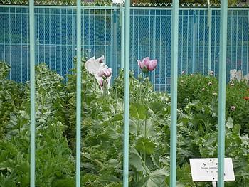 ケシ・アサ栽培区には、頑丈な柵と厳重な監視カメラに囲われたケシ。