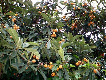 沢山の実がなる 枇杷  採るのも大変です。