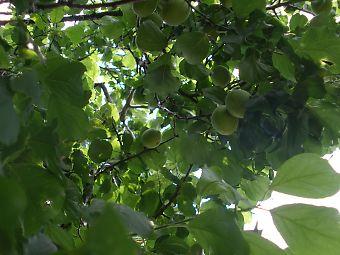 梅酒用には、6月上旬~中旬頃の梅の実が若く青い時に収穫。