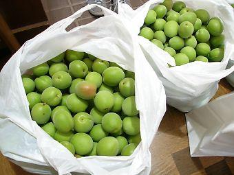 梅の木からレジ袋3個分を収穫!