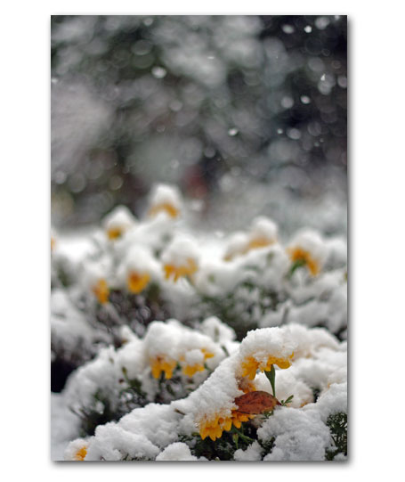 初雪のマリーゴールド