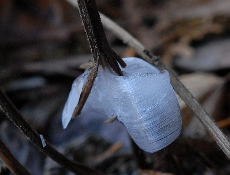 アキチョウジの霜柱