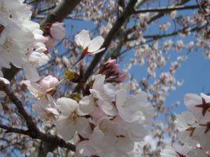 20080403桜2