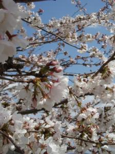 20080403桜4