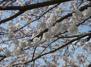 20080403桜5